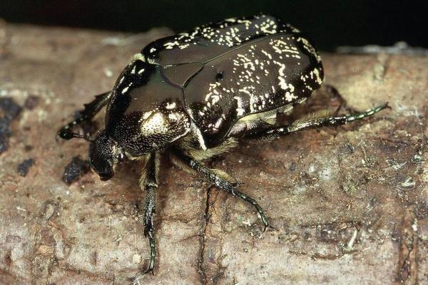 Käferarten Am Wildapfel Lwf Wissen 73