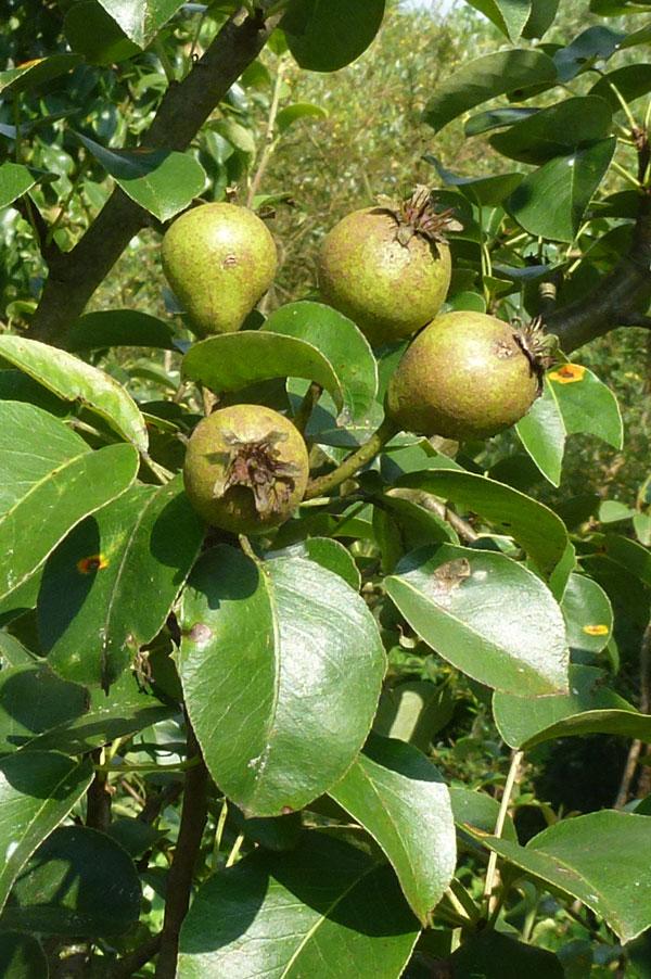 Die Wildbirne (Pyrus pyraster L.)